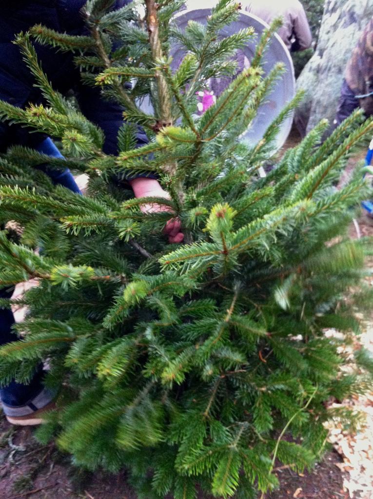 Christmas tree shopping in Berlin