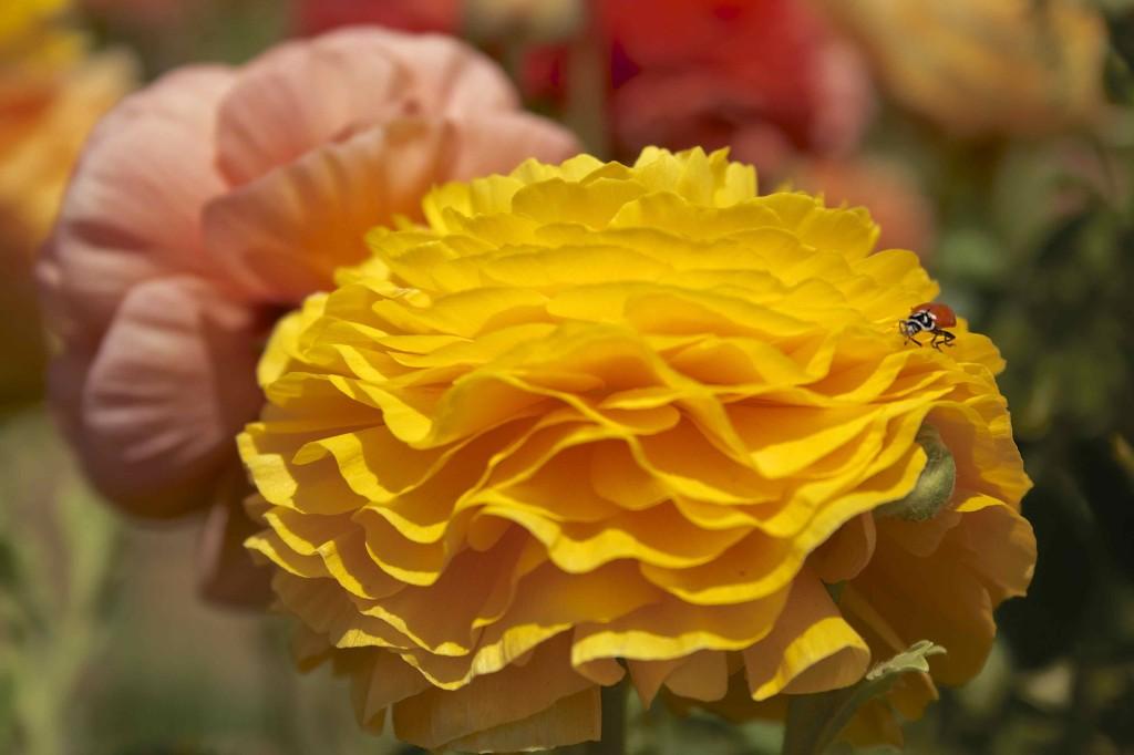 Giant Tecolote Ranunculus - Carlsbad Flower Fields | www.rtwgirl.com