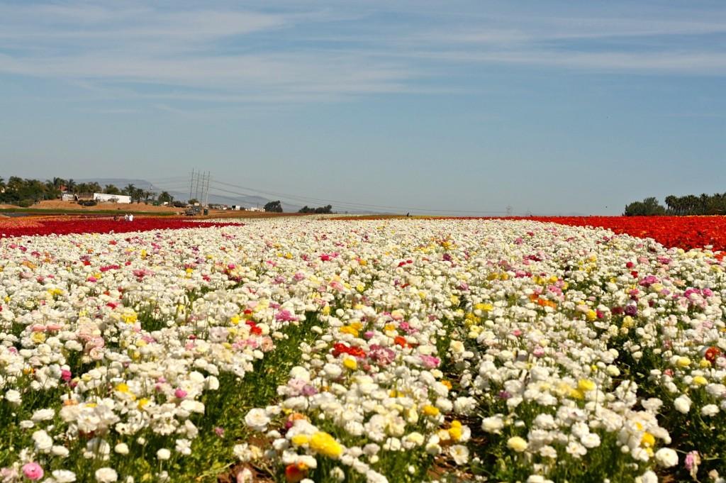 Carlsbad Flower Fields | www.rtwgirl.com