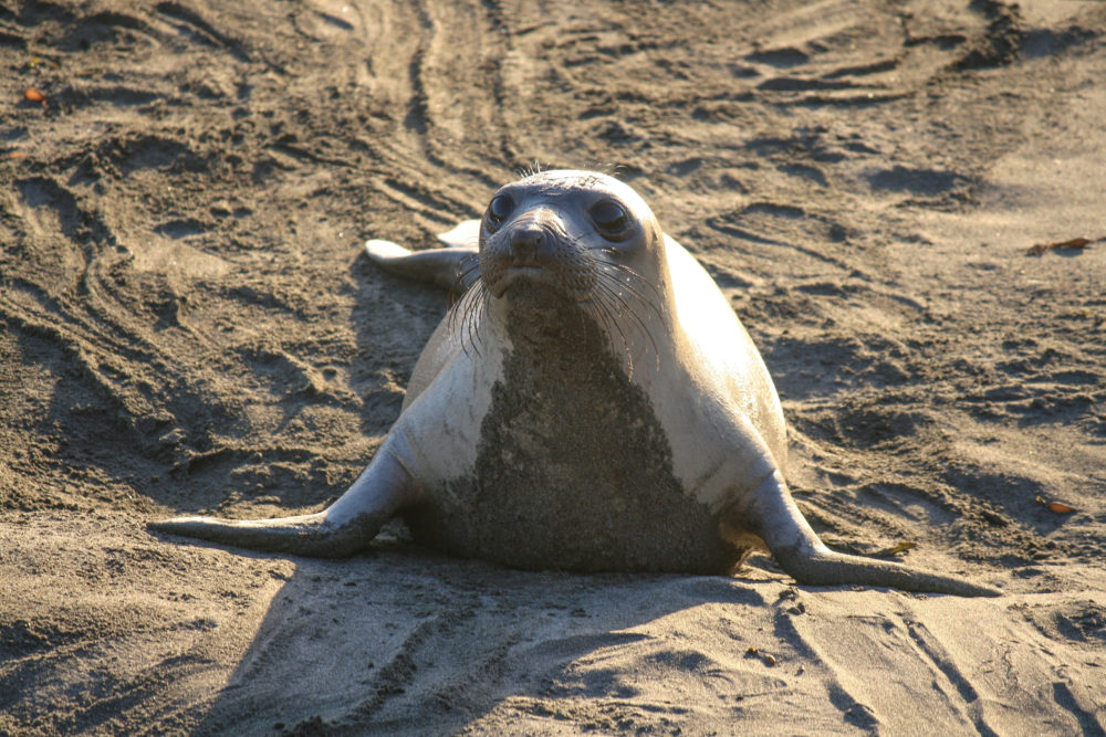 Elephant Seal San Simeon